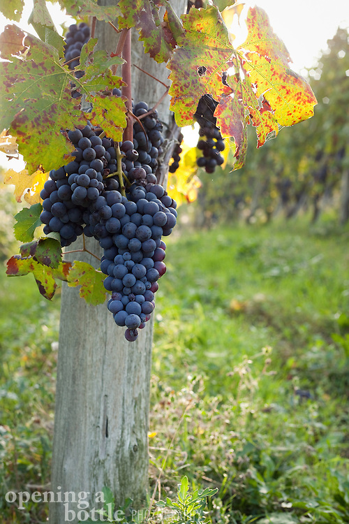 Nebbiolo grapes hang from a vine-wrapped post in Barolo wine country, near La Morra (Piedmont), Italy.
