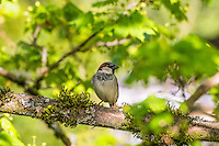 A male house sparrow is starting to develop his breeding plumage. Soon, his entire chest will be jet black and his cheeks will become whiter. Although it is not native, this extremely common songbird can be found all across North America. Photographed in Kent, Washington.