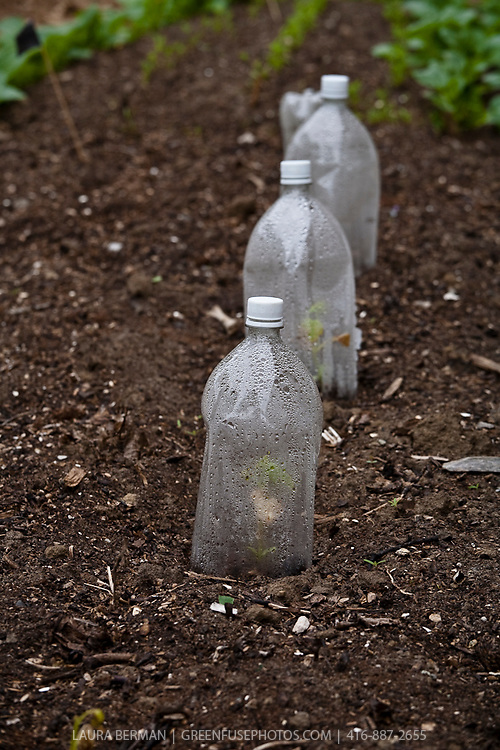 Plastic soda bottles recycled as cloches to protect young seedlings in the spring kitchen garden.
