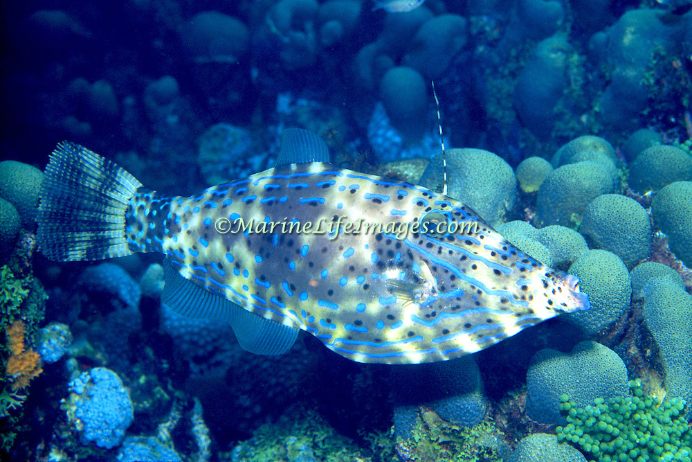 Scrawled Filefish drift over reefs and rocky bottoms with abundant gorgonian growths in Tropical West Atlantic and cirumtropical; picture taken St Lucia.