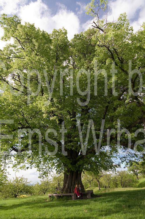 alter Baum, Kinder, Stapelburg, Harz, Sachsen-Anhalt, Deutschland | old tree, children, Stapelburg, Harz, Saxony-Anhalt, Germany