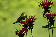 artsy, humming bird cloaked in its wings,feeding on beebaum nectar, in shade.