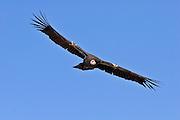 A California Condor (Gymnogyps californianus) in the sky above the Big Sur coast, California.