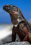 Allen's cay rock iguana {Cyclura cychlura inornata} Bahamas..Like other West Indian rock iguanas (Cyclura spp.), the northern Bahamian rock iguana is a large and robust ?dinosaur-like' lizard with an impressive crest of spiny scales running down its back and a variable array of bright and beautiful colours, particularly between the three subspecies. The Andros Island iguana is dark grey to black, with yellowish tinged scales on the legs, dorsal crest, and particularly the head. With maturity, however, this yellow slowly changes to a warm orange-red, especially in large males. The Exuma Island iguana is generally regarded as the smallest of the three subspecies, although size may vary between populations as colouration does. Adults from Bitter Guana and Gaulin Cays are a dull grey-black interspersed with pale grey spots. The crest scales are either white or pale red, while scales on the head are black, tinged with orange on the snout. Adults from Guana Cay are dull black with a white throat and belly, either grey, red-tinged or scarlet dorsal crest, and light blue head and face. Allen's Cay iguana is grey-black with cream, pink or orange mottling...www.solvinzankl.com..Solvin Zankl.Schwartenbeker Weg 67.24107 Kiel.Germany..Tel: +49(0)431-311581..eMail(1): info@solvinzankl.com..eMail(2): szankl@aol.com