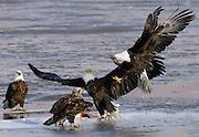 Haliaeetus leucocephalus-Bald Eagles gather in Farmington Bay,  Utah, March, 2011.  Colin E Braley (Wild West-Media)