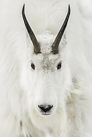 A close up portrait of a trophy sized mountain goat with heavy winter coat