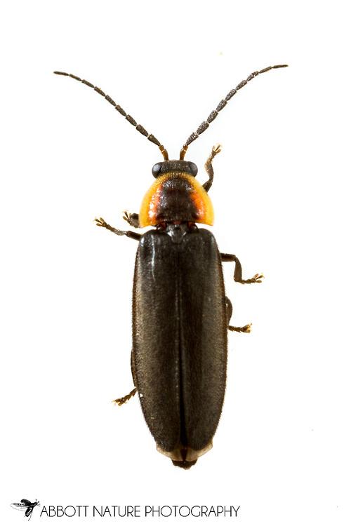 Firefly (Pyropyga minuta)<br /> United States: Alabama: Tuscaloosa Co.<br /> Tulip Tree Springs off Echola Rd.; Elrod<br /> 3-Jun-2017<br /> J.C. Abbott #2957