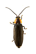 Firefly (Pyropyga minuta)<br /> United States: Alabama: Tuscaloosa Co.<br /> Tulip Tree Springs off Echola Rd.; Elrod<br /> 3-Jun-2017<br /> J.C. Abbott #2957
