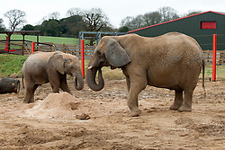 "© Licensed to London News Pictures.  03/04/2015. Wraxall, North Somerset, UK.  Jumbo playtime makes Friday good for elephants!  Elephants enjoy treats such as brussel sprouts hidden in a pile of sawdust at Noah's Ark Farm Zoo on Good Friday.  Noah's Ark Zoo Farm is celebrating the first anniversary of its Elephant Eden, the largest habitat for elephants in northern Europe.  The special facility officially opened with the arrival of its first resident, African elephant Buta in early 2014. Since then, 9 year old African bull Janu and 6 year old bull M'Changa joined the project in September and November last year.  All three elephants have settled in brilliantly together and are enjoying Europe's largest 20 acre complex. The enclosure provides an impressive environment for the elephants, with plenty of space, stimulating enrichments and excellent care. Described by elephant management consultant, Alan Roocroft as a ""five star destination for elephants"", Elephant Eden ensures the elephants happiness and long-term welfare.  Photo credit : Simon Chapman/LNP"