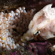 This is a male grunt sculpin watching over a clutch of eggs. On average, the eggs require about 60 days at 10 degrees Celsius to mature. The yellow-colored egg is one that was not successfully fertilized. Photographed in Miyagi Prefecture in northeast Japan, this fish carries the same binomial name (Rhamphocottus richardsonii) as grunt sculpins in the eastern Pacific, along the coasts of Canada and the USA. Recent DNA comparison by Japanese researchers suggests significant divergence. I spoke at length with Takuzo Abe, the primary researcher in Japan, who indicated that he believes the fish in Japanese waters should be considered a separate species.