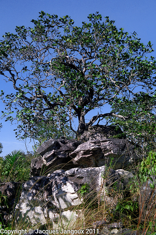 Contorted tree, saxicolous vegetation (growing among rocks) on Pre-Cambrian rock outcrop in Brazilian Highlands, Goias State, Brazil