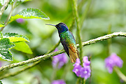Ecuador, May 19 2010: Images from Wild Sumaco...Copyright 2010 Peter Horrell