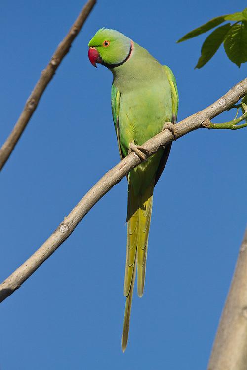 Rose-ringed Parakeet photo Hawaii