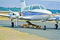 African lioness (Panthera leo) with cubs under a plane at the air field at Masai Mara National Reserve.  Kenya