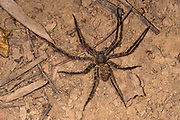 Huntsman spider (Heteropoda sp.) from Komodo Island, Indonesia