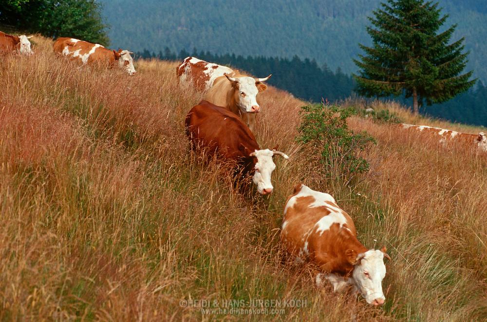 DEU, Deutschland: Hausrind (Bos taurus), Herde Kühe ihrem allabendlichen Rückweg von der Weide zurück in den Stall, Rasse: Hinterwälder, Rasse die es nur im Schwarzwald gibt, geländegängig und mit kurzen kräftigen Beinen, Bernau, Schwarzwald, Baden-Württemberg, Süddeutschland | DEU, Germany: Domestic cattle (Bos taurus), cattle herd walking back from pasture to cot in the evening, race: Hinterwaelder-cattle, just existing in Black Forest, all-terrain and with short strong legs, Bernau, Black Forest, Baden-Württemberg, Southern Germany |