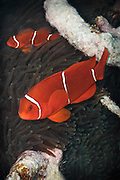 Spinecheek anemonefish (Premnas biaculeatus) in leathery sea anemone (heteractis crispa) - Agincourt reef, Great Barrier Reef, Queensland, Australia.