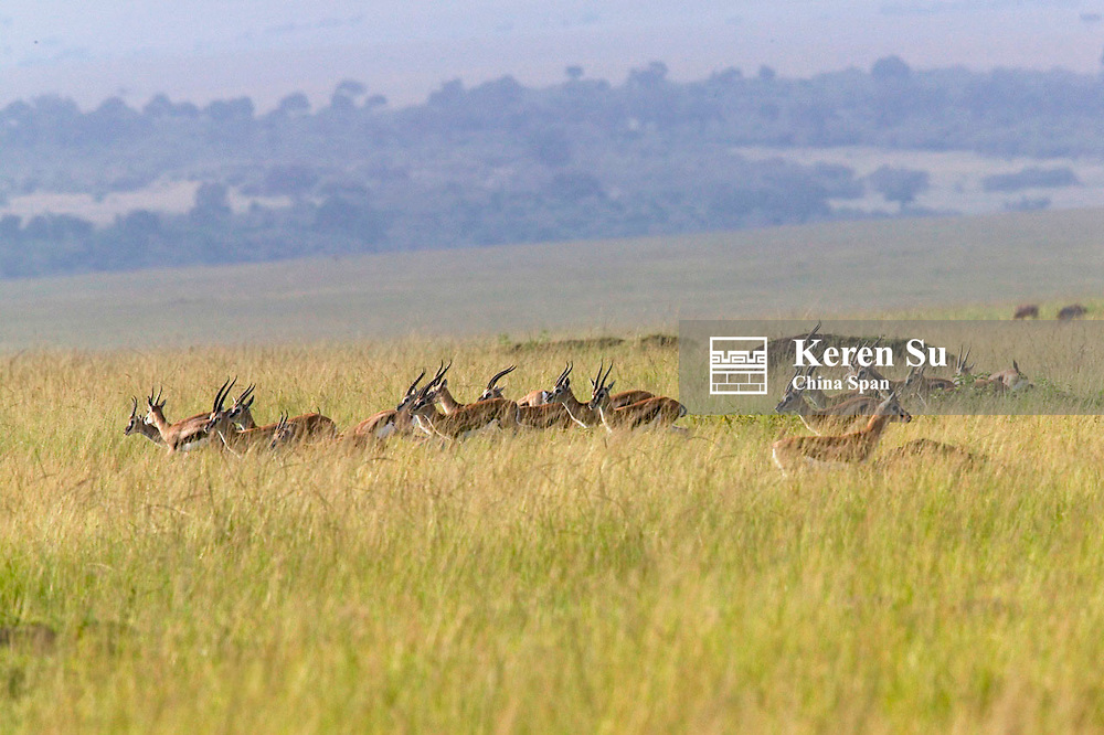 Thomson's Gazelle (Gazella thomsoni) on the savanah, Masai Mara, Kenya