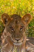 Lion cub, Nxai Pan National Park, Botswana.