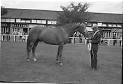 """08/08/1962<br /> 08/08/1962<br /> 08 August 1962<br /> Dublin Horse Show at the RDS, Ballsbridge, Wednesday. <br /> Picture shows winner of Pembroke Cup """"Long Lace"""" owned by Patrick Carty, Killowen, Croosabeg, Wexford.§"""