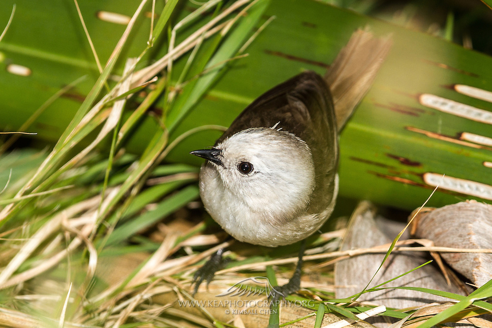 The whitehead is endemic to North Island New Zealand, but its two closely related species, the yellowhead and brown creeper, can be found in the South and Stewart Islands.
