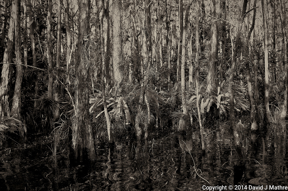 Swamp walk with Kristen and Angela in the Everglades behind  Clyde Butcher's Big Cypress Gallery. Image taken with a Leica X2 camera (ISO 100, 24 mm, f/4.5, 1/100 sec).