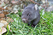 Common Wombat <br /> Vombatus ursinus<br /> Six-month-old orphaned joey (mother was hit by car) exploring the outdoors<br /> Bonorong Wildlife Sanctuary, Tasmania, Australia<br /> *Captive- rescued and in rehabilitation program
