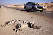 striped hyena (Hyaena hyaena) road kill Photographed in Israel Aravah Desert