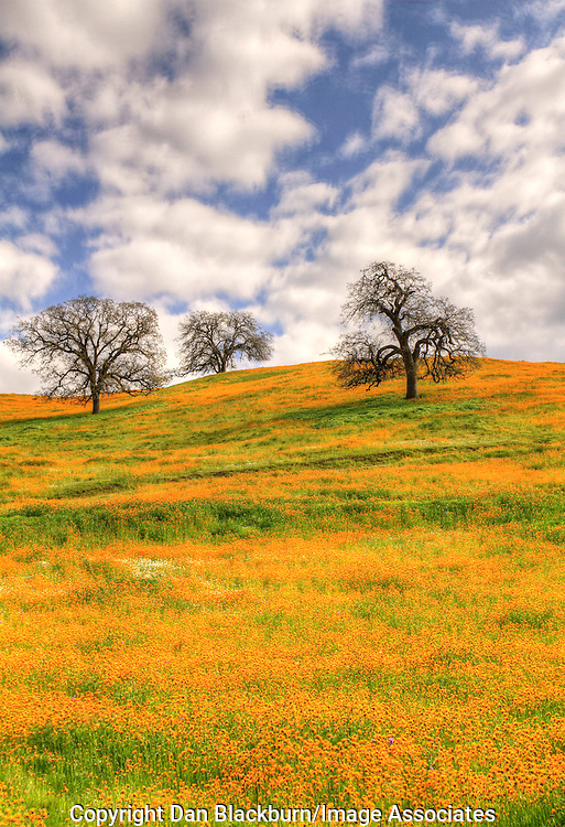 A field of blooming fiddleneck wildflowers surrounds budding oak trees on a hillside below Kern Canyon in California