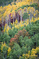 Wasatch Mountain State park puts on a wonderful show of Fall Colors in Utah with various red maples and golden yellow aspen trees.