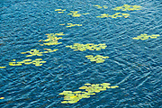Lily pads in Lake of the Woods<br />Kenora District<br />Ontario<br />Canada