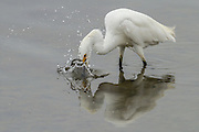 Snowy Egret splashing its head into the water to feed, Bolsa Chica
