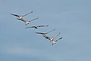 Bosque del Apache National WIldlife Refuge, New Mexico, Sandhill Cranes (Grus canadensis) in flight