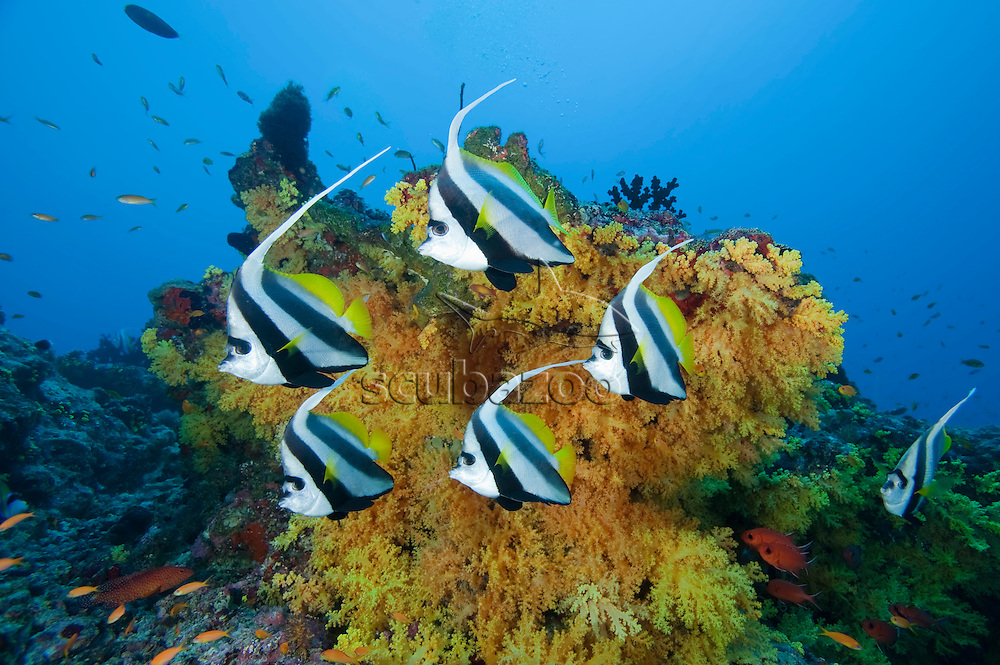 School of Longfin Bannerfish, Heniochus acuminatus, in front of a large colony of Scleronephthya Soft Coral, profile, side view, Meemu Atoll, The Maldives