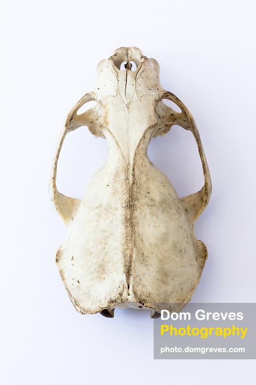 Otter skull (Lutra lutra) scavenged remains. Dorset, UK.