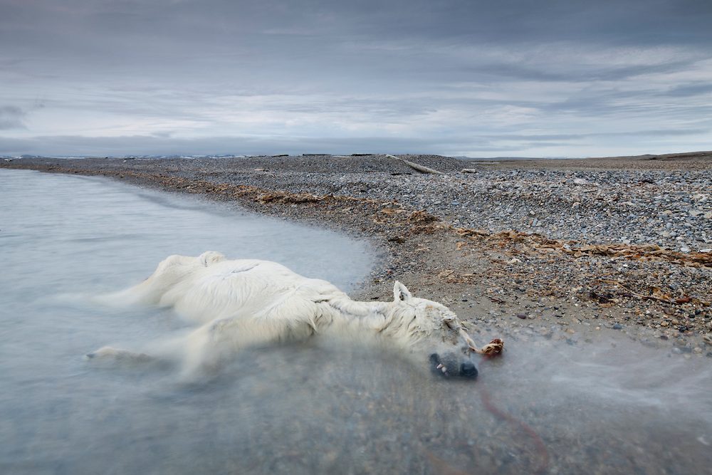 Norway, Svalbard, Spitsbergen Island, Waves lap over remains of dead adult Polar Bear (Ursus maritimus) that may have died of starvation lying on gravel beach