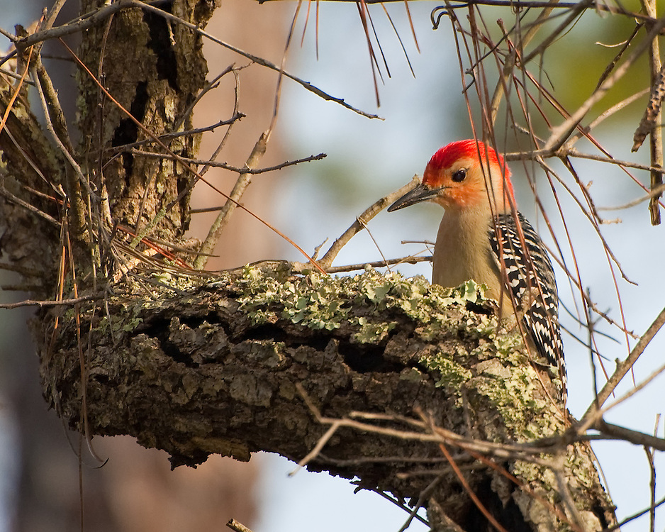 A male red-bellied woodpecker looking for insects among the oak trees on North Florida.