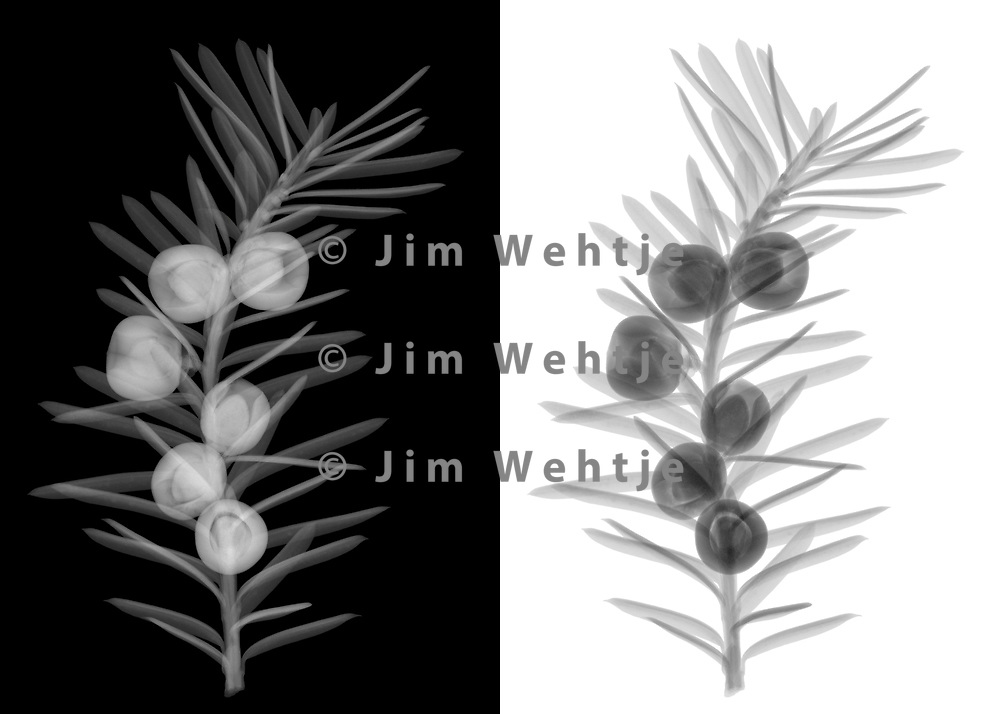 X-ray image of a yew branch with seeds (Taxus, grayscale) by Jim Wehtje, specialist in x-ray art and design images.