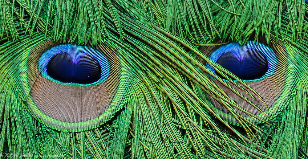 Peacock Feathers Looking Back At The Photographer
