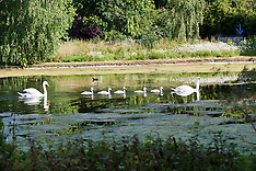 JUN 12 2014 A Swan family enjoy the sunshine in St James's Park