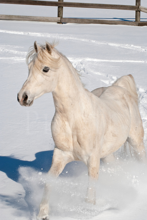 Picture of Arabian horse running in new snow.
