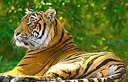 Sumatran Tiger (Panthera tigris sumatrae) relaxing in the shade.