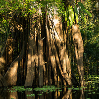 Buttress roots on a giant trunk of a tree disappear into the waters of Nauta Caño off of the Marañon River. Pacaya Samiria National Reserve, Upper Amazon, Peru.