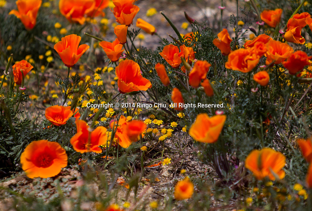 California poppy are in bloom near Antelope Valley in Lancaster, California, Sunday, April 27, 2014. The California poppy is the state flower. Wildflowers are showing up in massive quantities throughout desert areas in Southern California because of recent rains. (Photo by Ringo Chiu/PHOTOFORMULA.com)
