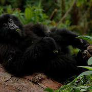 Mountain Gorilla (Gorilla beringei beringei) <br /> Virunga Volcanoes - Parc National des Volcans, Rwanda <br /> <br /> Tetero from Beetsme&rsquo;s group relaxes on a log in Parc National des Volcans, Rwanda.