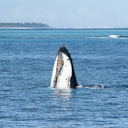 Adult female humpback whale spyhopping. This female had a male calf that was playing nearby.