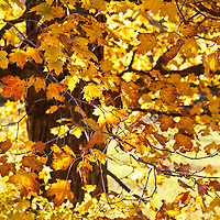 Bright yellow leaves of a sugar maple tree in autumn