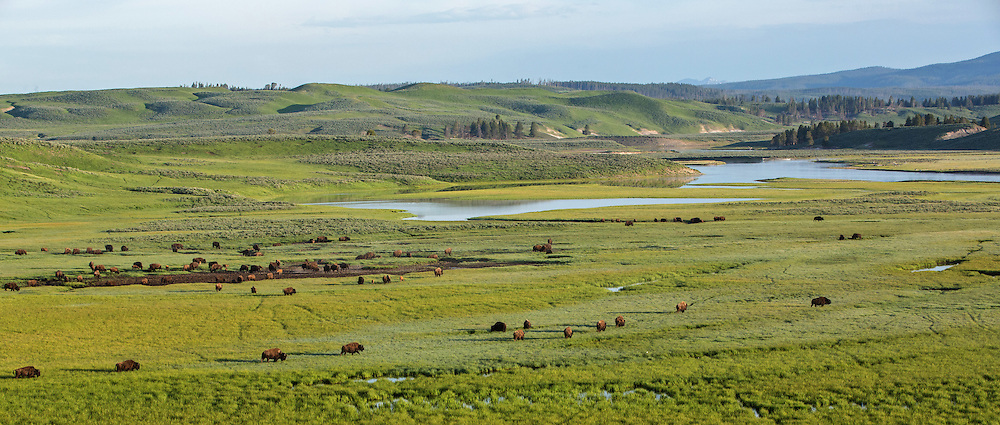 During late spring,Yellowstone's central bison herds migrate southeast through the park to their summer range in Hayden Valley. These large herds quickly fill this empty landscape and bring life to the valley once more.