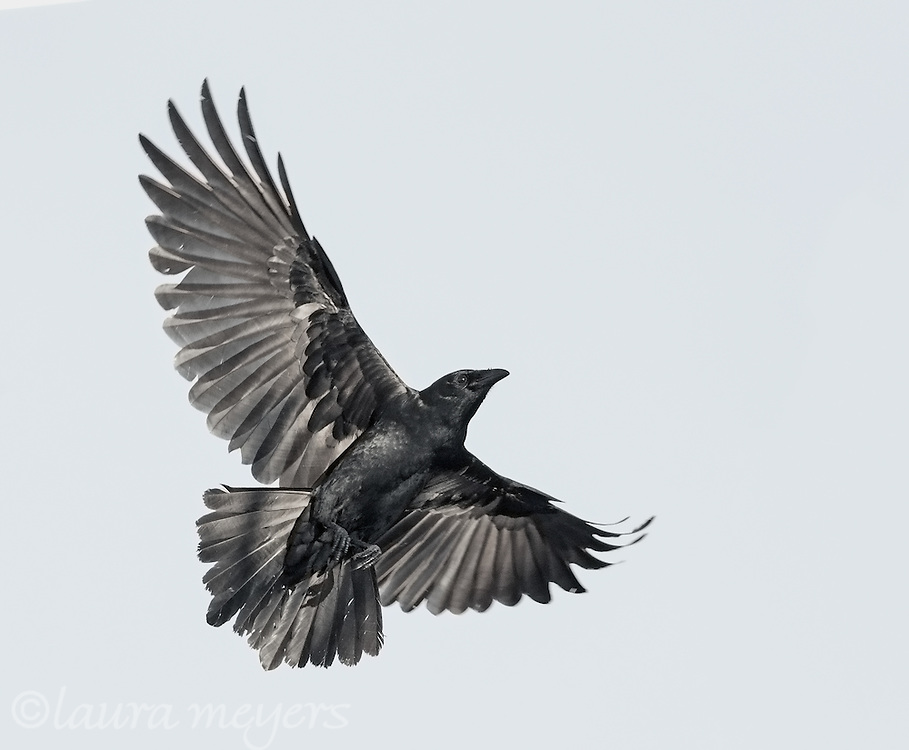 American Crow in Flight with wings spread wide open.