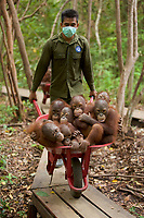 Keepers at IAR transport juvenile orangutans by wheelbarrow to a patch of forest where they will learn skills for the wild <br />